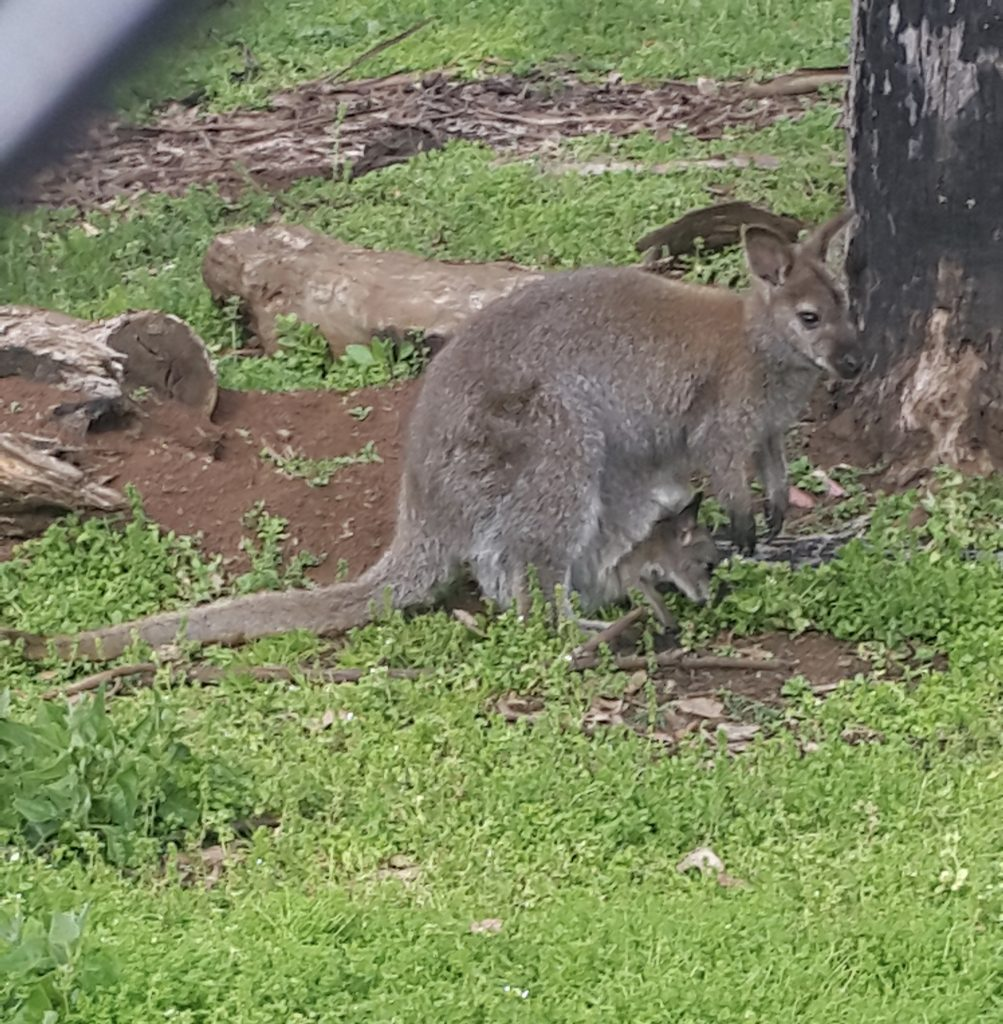 Wallaby and her baby! This was one of the highlights of my day.