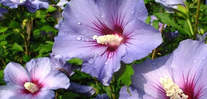 Mucize Bitki: Hibiskus (Hatmi Çiceği)