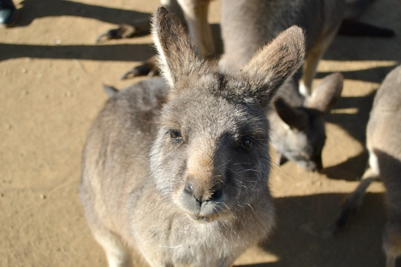 Things to do in Hobart, Tasmania: Bonorong Wildlife Sanctuary