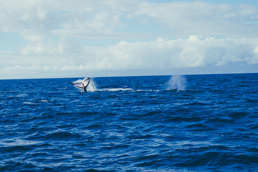 Solo and Budget Travel Guide to Maui: Whale Watching off Lahaina in Maui