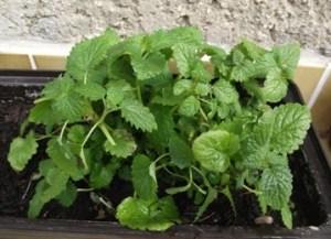 Fűszernövények termesztése - citromfű