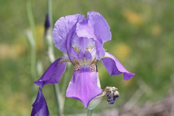 Deutsche Schwertlilie, Ritter-Schwertlilie, Blaue Schwertlilie / Bearded iris / Iris ×germanica