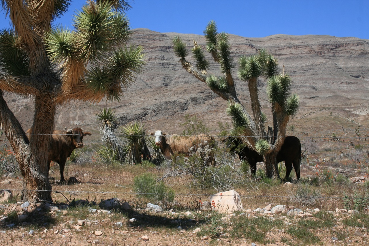 Bundy Ranch, New BLM Whistleblower, Senator Harry Reid, Bureau of Land Management BLM, Cattle, Conflict Showdown & Revolution https://i1.wp.com/www.hcn.org/blogs/goat/images-2/CattlenearHorseSpringApril2010.jpg