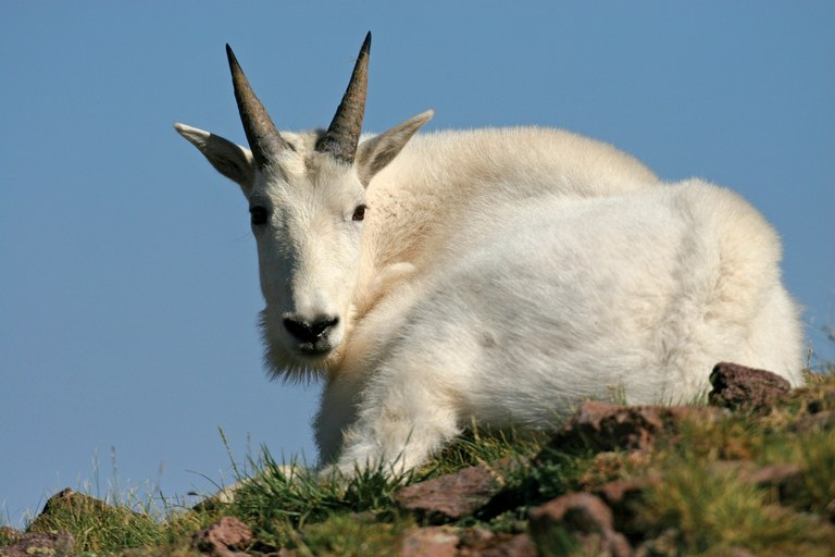 https://i1.wp.com/www.hcn.org/issues/46.22/non-native-goats-in-utahs-la-sal-mountains/goats1-jpg/@@images/d5c9f75d-b0c8-4184-8ea7-f9a67e6adc55.jpeg