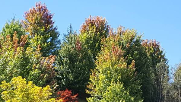 Set of red maples by some condos behind New River Vets in Boone, NC, turning early. Photo by Howard Neufeld