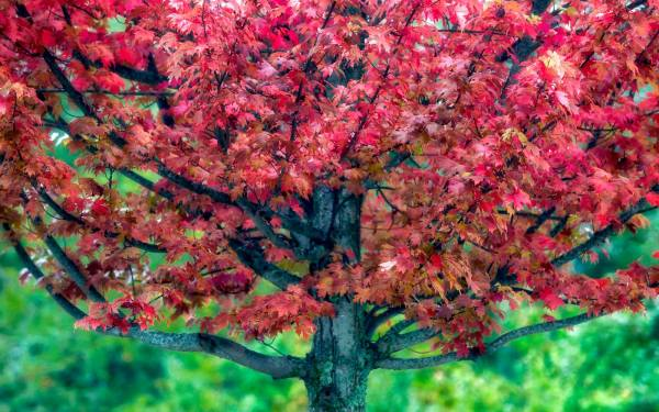 A red maple turns bright crimson in the town of Linville, N.C. Although much of this year's fall color has yet to arrive, experts believe it could peak next week. Meanwhile, areas above the Blue Ridge Parkway, which are typically the first to turn, are beginning to showcase their seasonal colors. Photo by Skip Sickler | Grandfather Mountain Stewardship Foundation