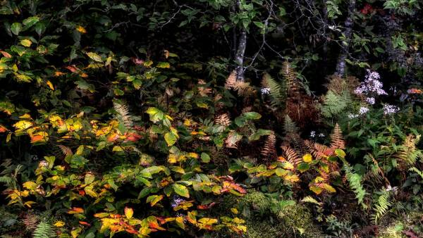 A colorful medley of American beech, aster and fern decorate Grandfather Mountain's Woods Walk Trail. While experts believe this weekend and the next will bookend peak color season, fall color could extend into the third week of October in the Boone and Blowing Rock areas if the weather doesn't get much colder. Photo by Skip Sickler | Grandfather Mountain Stewardship Foundation