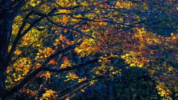 Sunshine beams through brilliant foliage in Grandfather Mountain's MacRae Meadows. According to Jesse Pope, executive director of the Grandfather Mountain Stewardship Foundation, peak color will likely arrive at Grandfather Mountain and other high-elevation locales this coming weekend. Photo by Skip Sickler | Grandfather Mountain Stewardship Foundation