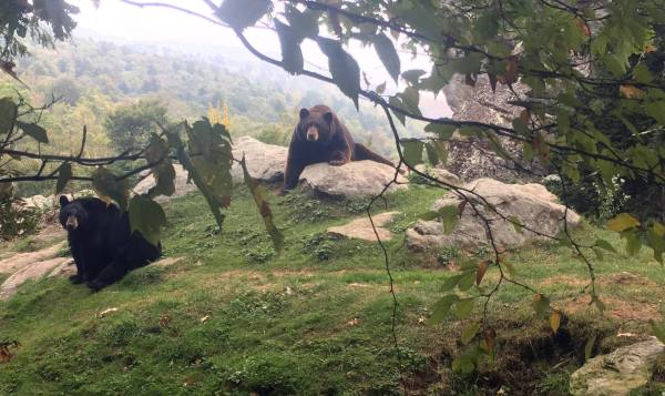 Bears in the Mist: Smokey and Kodiak enjoy a foggy morning at Grandfather Mountain. Photo by Alexis Rowe | Grandfather Mountain Stewardship Foundation