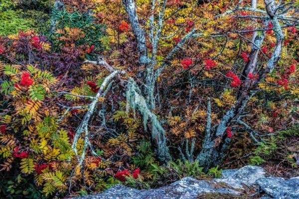 Ever-distinctive mountain ash berries shine bright red atop Grandfather Mountain. Photo by Skip Sickler | Grandfather Mountain Stewardship Foundation