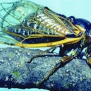 2021 is the Year of the Cicada: After 17 years, Millions of Large Cicada Brood Will Emerge Aboveground Throughout the High Country