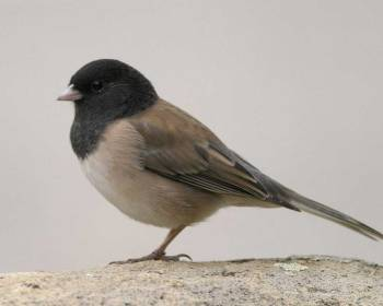 BIRD COUNT: Dark-eyed Junco. Bob Steele/VIREO, Audubon.org.