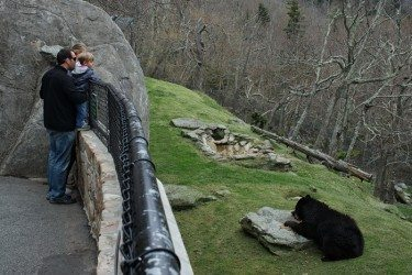 Seeing the black bears emerge from their dens after a long winter's sleep is among the benefits of visiting Grandfather Mountain in April. Skip Sickler | Grandfather Mountain Stewardship Foundation.