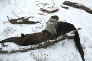Grandfather Mountain otters Luna and Nottaway snuggle in the snow earlier this month. Both are currently off-display as they are introduced to another otter, Nova, and the habitat undergoes renovations. Photo by Katie Casella | Grandfather Mountain Stewardship Foundation.