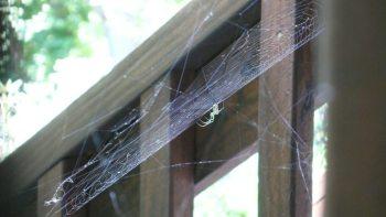Spider and Hollyhocks 2015 007
