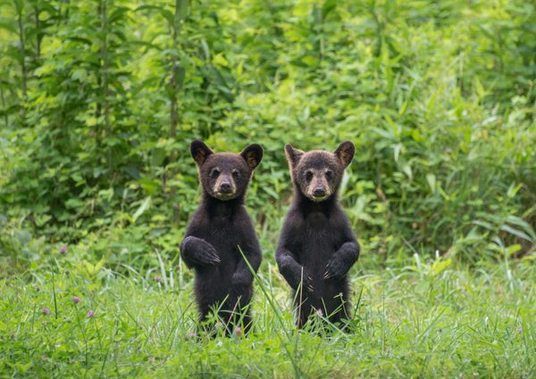 """""""Mirror Image Cubs"""" by Drew Senter"""