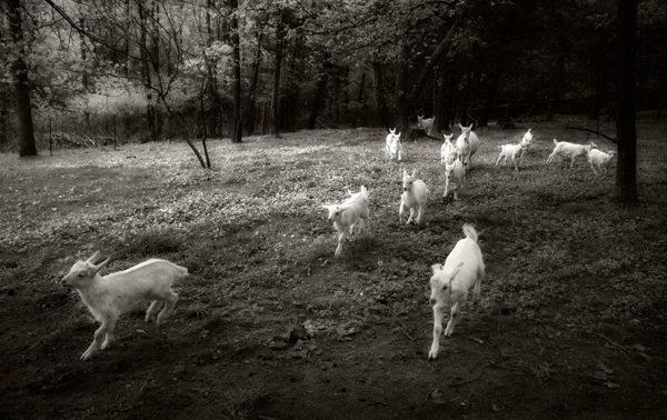 """Gotta Goat"" by Frederica Georgia"