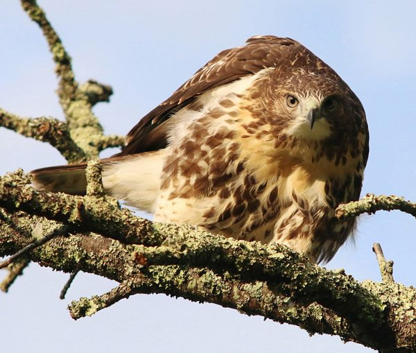 """""""Bo the Red-tailed Hawk"""" by Rob Moore"""