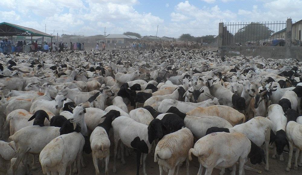 Somaliland Oo La Filayo In Imaaraadka Carabta U Dhoofiso 5,000 Neef Oo Adhi Ah