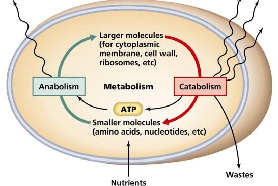 বিপাক ক্রিয়া বা মেটাবোলিজম (Metabolism)