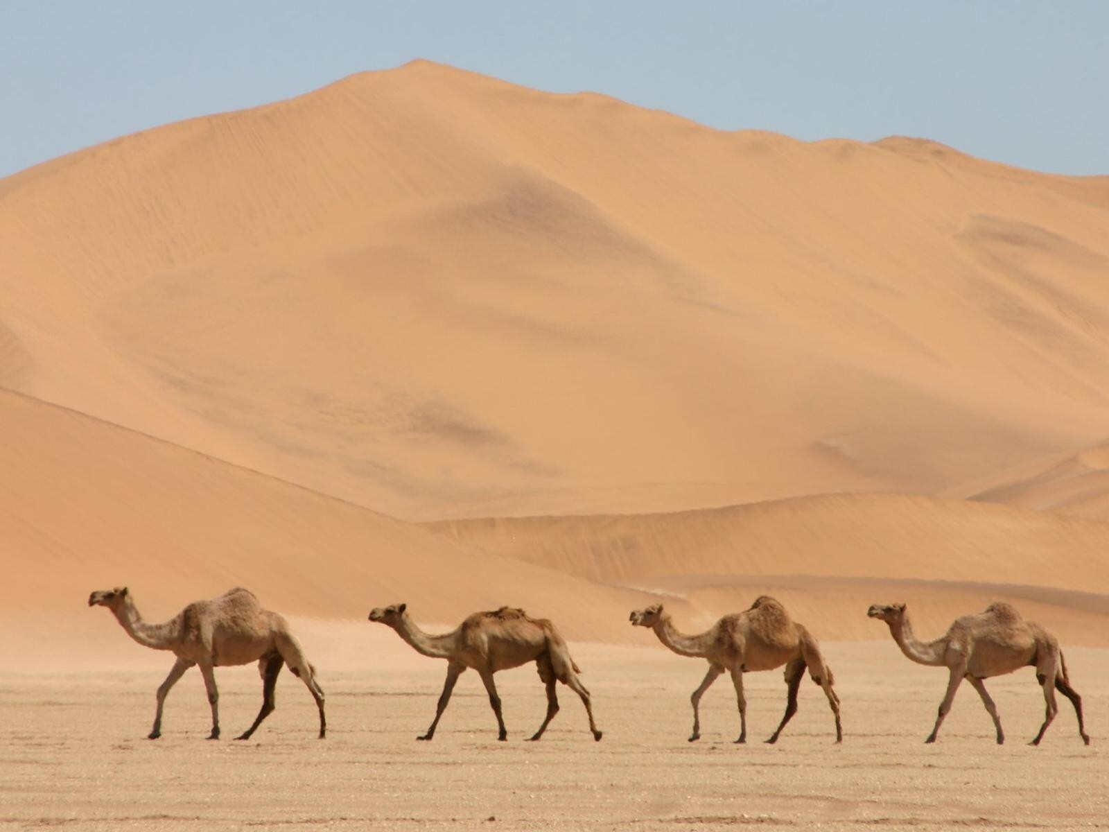 Image result for camels walking