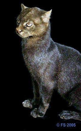 The Jaguarundi Beautiful Big Wild Cat Photograph From