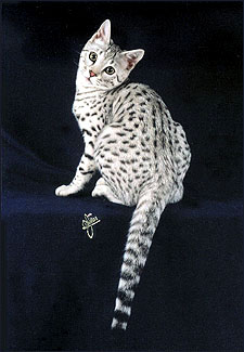 Bengal Cats Color Genetics Of Cats Dilute And Solid