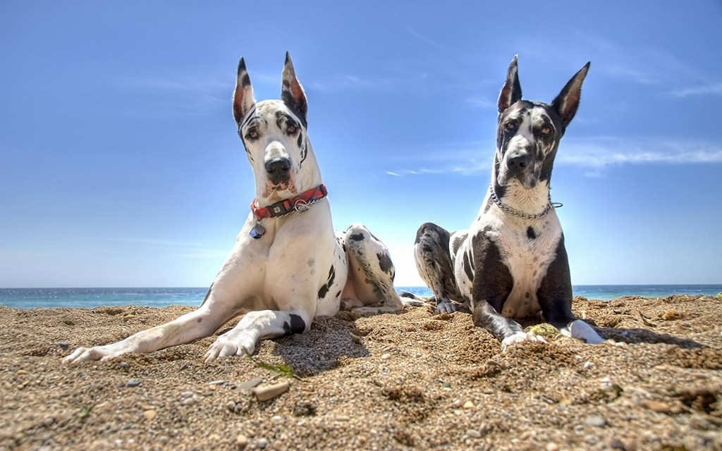 Great Dane Wallpapers Pictures Images