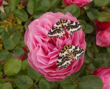 Butterflys among the roses