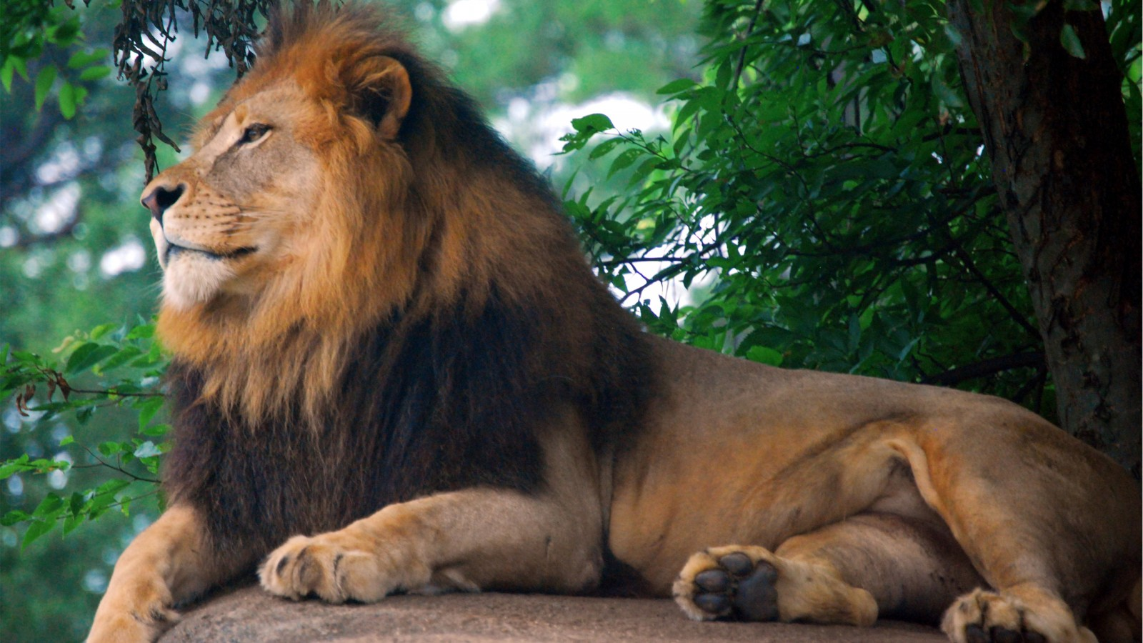 Amazing history, well maintained and driven by a certain british racing driver. Lion King of Zoo Wallpapers | HD Wallpapers | ID #12958