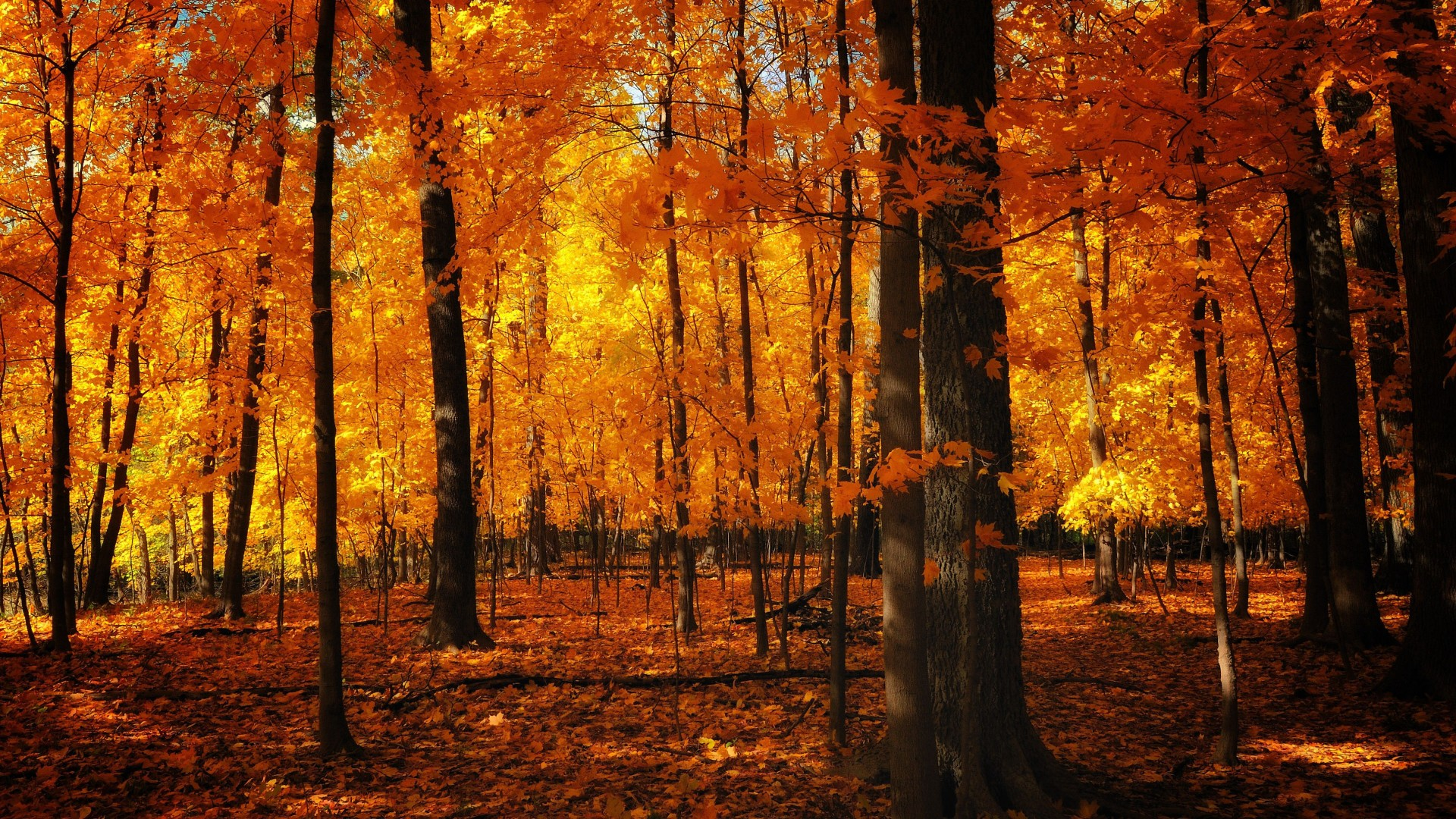 Ever snapped me this video idea for a tutorial! Orange Leafed Autumn Trees 4K HD Orange Aesthetic