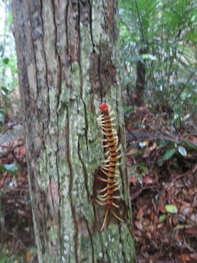 Centipede on the Jungle Trail to the Dragon Horns