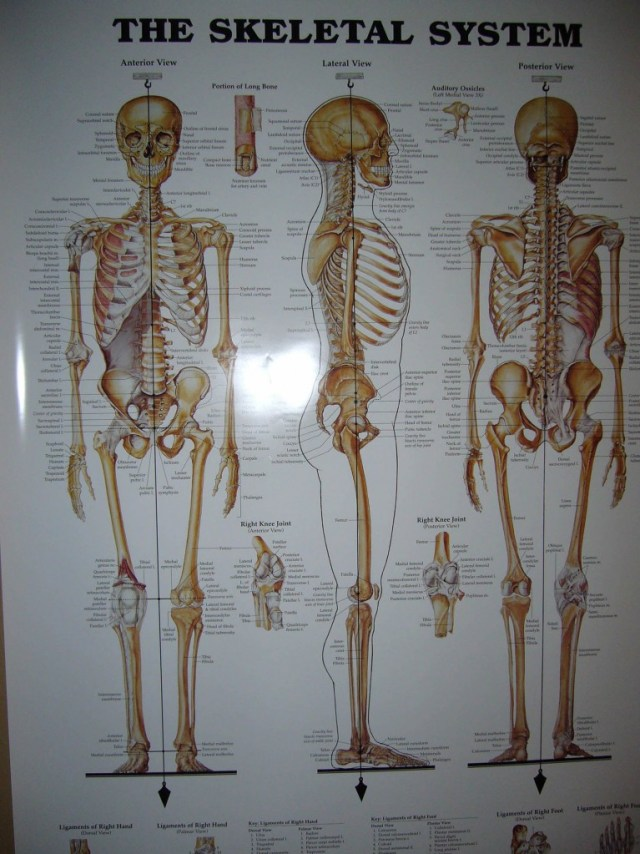 The Skeletal System, Awareness, Alignment