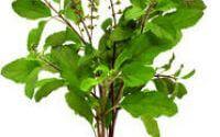 तुलसी के फायदे और 25 बेहतरीन औषधीय गुण