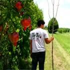 Scaly Bark Tree Form Pomegranate