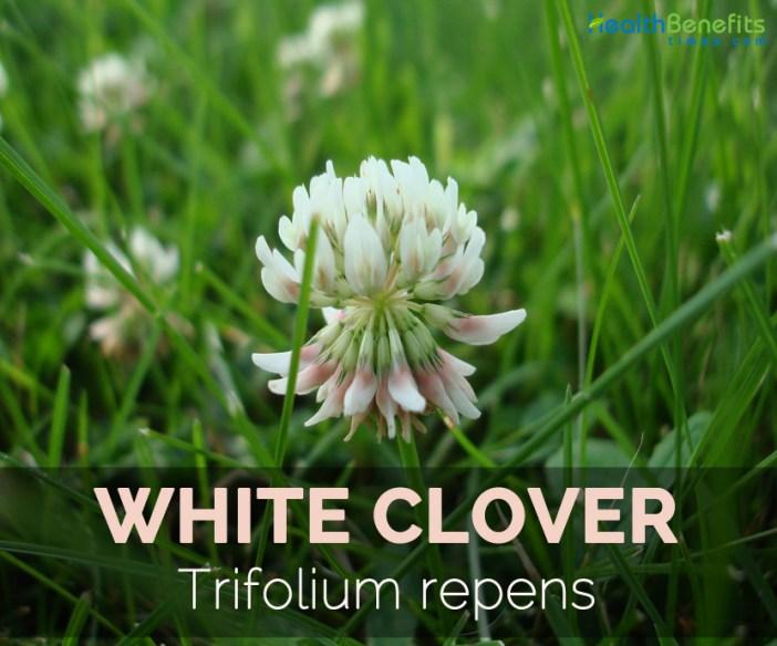 White-clover---Trifolium-repens