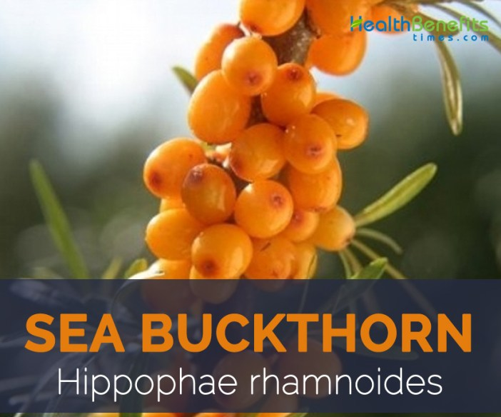 Sea Buckthorn facts and health benefits