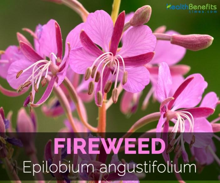 Fireweed---Epilobium-angustifolium