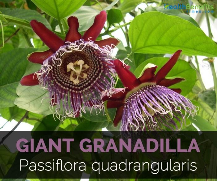 giant-granadilla-passiflora-quadrangularis