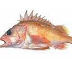 Green spotted Rockfish
