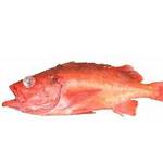 Yellow mouth Rockfish