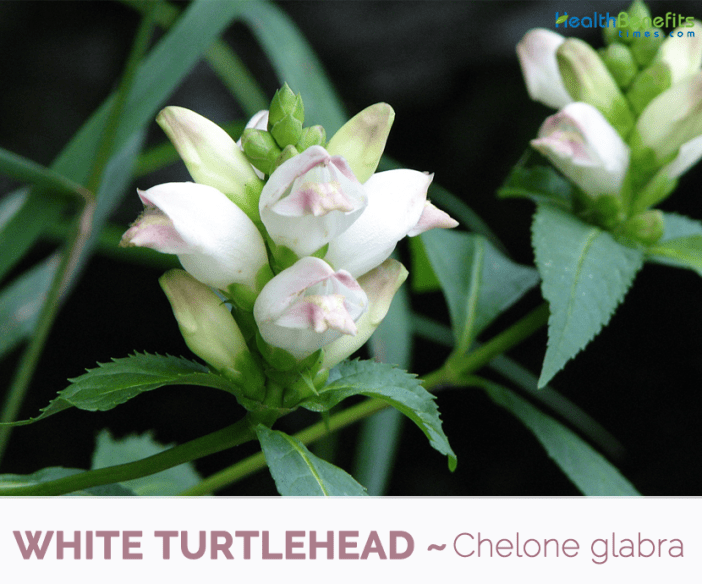 Facts and benefits of White Turtlehead