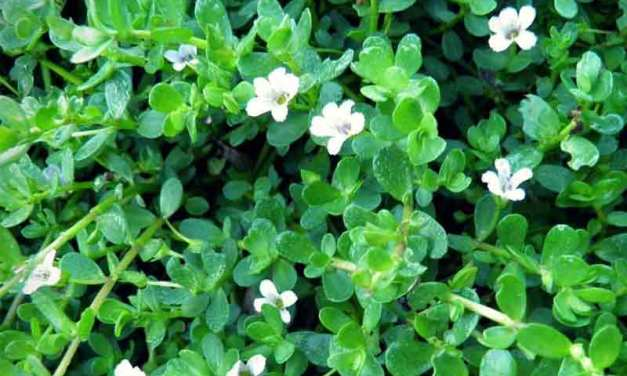 Bacopa Monnieri | Ancient Indian Natural Nootropic