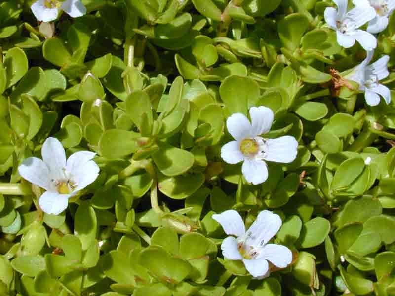 Bacopa Monnieri Review | Usage, Dosage, Health Benefits and Side Effects
