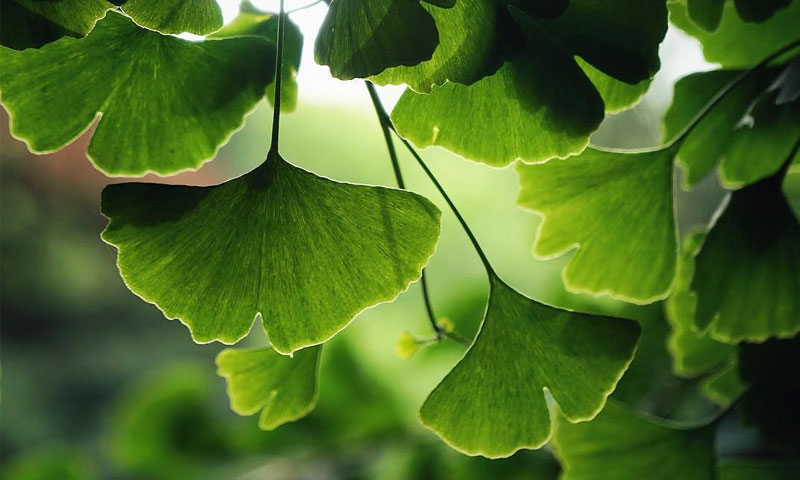 Ginkgo Biloba Benefits and Side Effects
