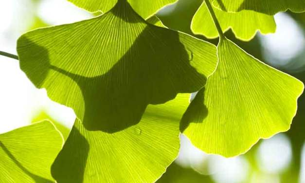Ginkgo Biloba Benefits and Side Effects on General Health