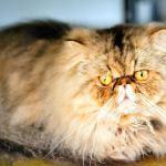 Feline Diabetes Treatment