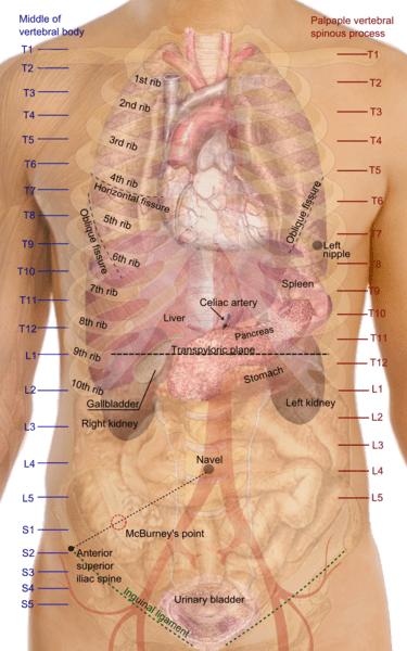 Diaphragm Human Thorax Location Anatomy Function And