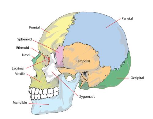skull parts - La Cabeza Dolores y Anatomía