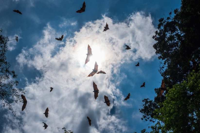 Fruit bats flying overhead, considered a natural reservoir of the Nipah virus.